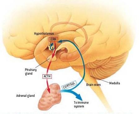 cortisol-hormones